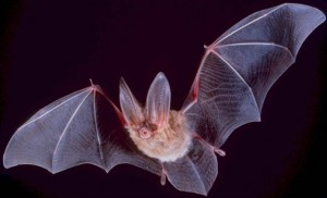 Fledermaus (Quelle: Wikipedia)