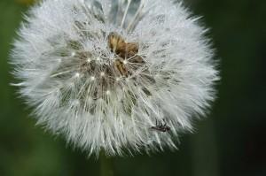 Pusteblume (Foto : Wikipedia / Avarim)